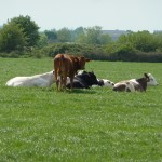 Court Farm Cows