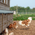 Our Hens - We Have Take Off!