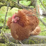 Our Hens - Resting in Our Apple Trees