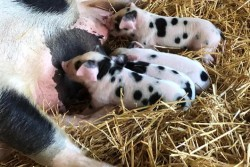 Blossom with Piglets